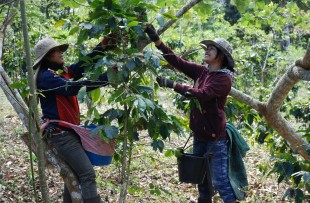 Coffee_Harvest_Laos_Wiki
