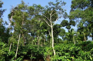 coffee-plantation-346468_1280